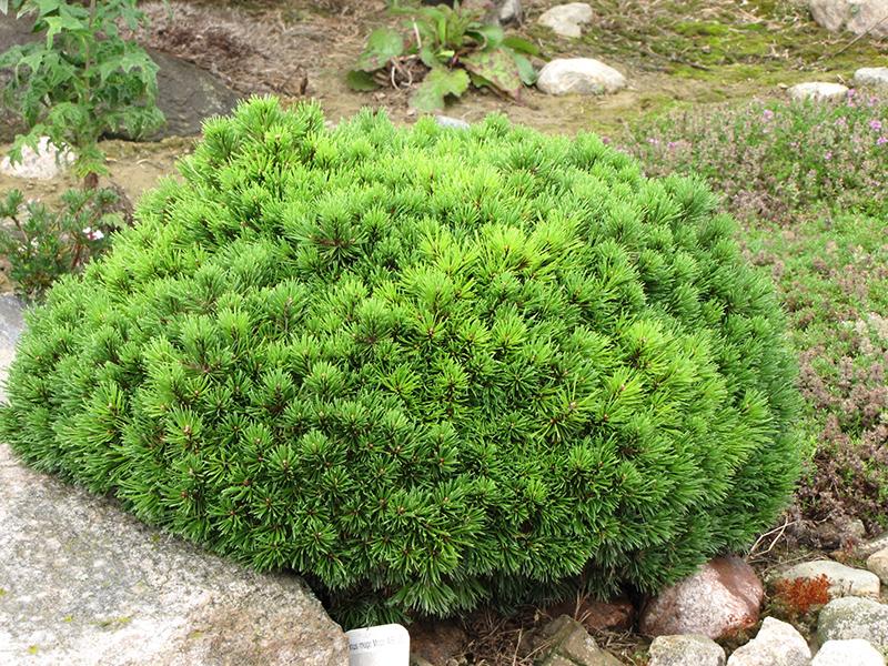 Picture of Live Mugho Pine aka Pinus mugho mugo Plant Fit 5 Gallon Pot