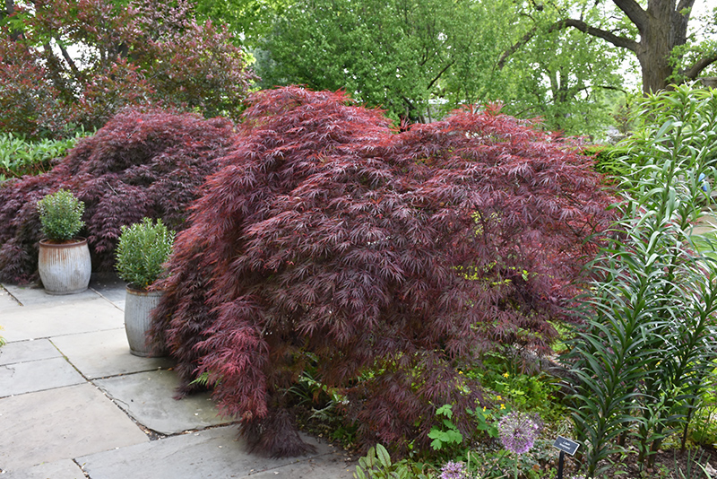 Crimson Queen Japanese Maple Acer Palmatum Crimson Queen In