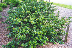 Blue Girl Meserve Holly (Ilex x meserveae 'Blue Girl') at Dutch Growers Garden Centre