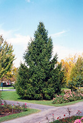 Norway Spruce (Picea abies) at Dutch Growers Garden Centre
