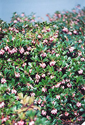 Vancouver Jade Bearberry (Arctostaphylos uva-ursi 'Vancouver Jade') at Dutch Growers Garden Centre