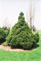 Ohlendorf Spruce (Picea abies 'Ohlendorfii') at Dutch Growers Garden Centre