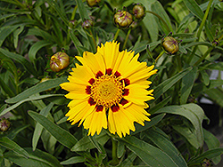 Domino Tickseed (Coreopsis 'Domino') at Dutch Growers Garden Centre