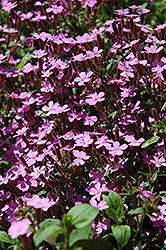 Rock Soapwort (Saponaria ocymoides) at Dutch Growers Garden Centre