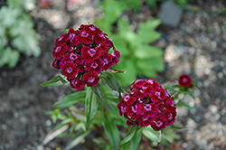 Sweet William (Dianthus barbatus) at Dutch Growers Garden Centre