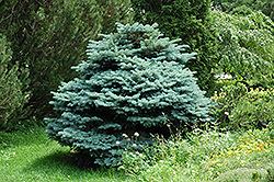 Globe Blue Spruce (Picea pungens 'Globosa') at Dutch Growers Garden Centre