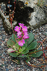 Bitterroot (Lewisia cotyledon) at Dutch Growers Garden Centre
