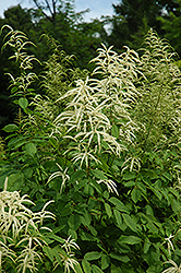 Goatsbeard (Aruncus dioicus) at Dutch Growers Garden Centre