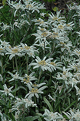 Alpine Edelweiss (Leontopodium alpinum) at Dutch Growers Garden Centre