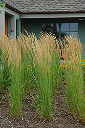 Karl Foerster Reed Grass (Calamagrostis x acutiflora 'Karl Foerster') at Dutch Growers Garden Centre