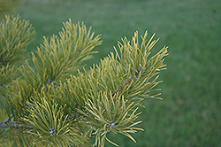 Scotch Pine (Pinus sylvestris) at Dutch Growers Garden Centre
