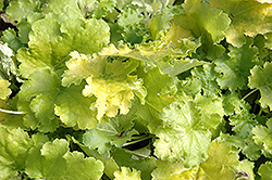 Lime Rickey Coral Bells (Heuchera 'Lime Rickey') at Dutch Growers Garden Centre