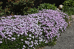 Emerald Blue Moss Phlox (Phlox subulata 'Emerald Blue') at Dutch Growers Garden Centre