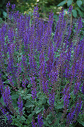 May Night Sage (Salvia x sylvestris 'May Night') at Dutch Growers Garden Centre
