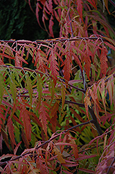 Tiger Eyes® Sumac (Rhus typhina 'Bailtiger') at Dutch Growers Garden Centre