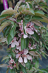 Dreamweaver Flowering Crab (Malus 'Dreamweaver') at Dutch Growers Garden Centre