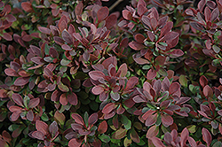 Royal Burgundy Japanese Barberry (Berberis thunbergii 'Gentry') at Dutch Growers Garden Centre