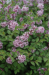 Prince Charming Lilac (Syringa 'Prince Charming') at Dutch Growers Garden Centre