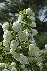 Snowball Viburnum (Viburnum opulus 'Roseum') at Dutch Growers Garden Centre