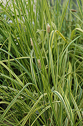 Variegated Foxtail Grass (Alopecurus pratensis 'Aureovariegatus') at Dutch Growers Garden Centre