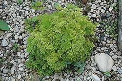 Dwarf Goatsbeard (Aruncus aethusifolius) at Dutch Growers Garden Centre