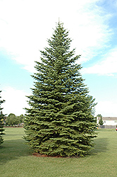 Colorado Spruce (Picea pungens) at Dutch Growers Garden Centre