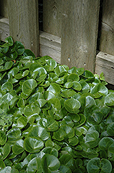 European Wild Ginger (Asarum europaeum) at Dutch Growers Garden Centre