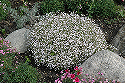 Creeping Baby's Breath (Gypsophila repens) at Dutch Growers Garden Centre