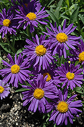 Dark Beauty Alpine Aster (Aster alpinus 'Dark Beauty') at Dutch Growers Garden Centre