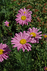 Robinson's Pink Painted Daisy (Tanacetum coccineum 'Robinson's Pink') at Dutch Growers Garden Centre
