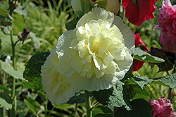 Chater's Double Yellow Hollyhock (Alcea rosea 'Chater's Double Yellow') at Dutch Growers Garden Centre