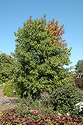 Sienna Glen Maple (Acer x freemanii 'Sienna') at Dutch Growers Garden Centre