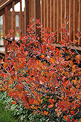 Autumn Magic Black Chokeberry (Aronia melanocarpa 'Autumn Magic') at Dutch Growers Garden Centre