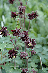 Black Barlow Columbine (Aquilegia vulgaris 'Black Barlow') at Dutch Growers Garden Centre