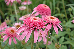 Cone-fections™ Pink Double Delight Coneflower (Echinacea purpurea 'Pink Double Delight') at Dutch Growers Garden Centre