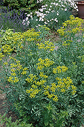 Common Rue (Ruta graveolens) at Dutch Growers Garden Centre