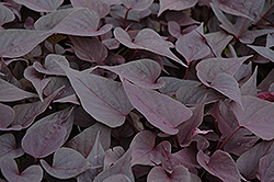 Sweetheart Purple Sweet Potato Vine (Ipomoea batatas 'Sweetheart Purple') at Dutch Growers Garden Centre