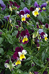 Helen Mount Pansy (Viola tricolor 'Helen Mount') at Dutch Growers Garden Centre