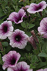 Supertunia® Mini Blue Vein Petunia (Petunia 'Supertunia Mini Blue Vein') at Dutch Growers Garden Centre