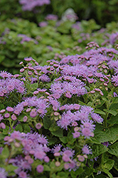 Artist Blue Flossflower (Ageratum 'Artist Blue') at Dutch Growers Garden Centre