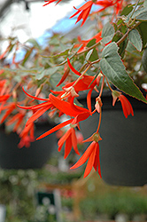 Bonfire Begonia (Begonia boliviensis 'Bonfire') at Dutch Growers Garden Centre