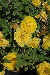 Persian Yellow Rose (Rosa 'Persian Yellow') at Dutch Growers Garden Centre