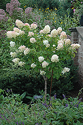 Limelight Hydrangea (tree form) (Hydrangea paniculata 'Limelight (tree form)') at Dutch Growers Garden Centre