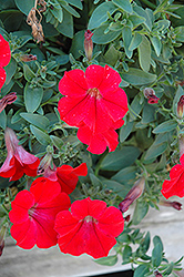 Surfinia® Red Petunia (Petunia 'Surfinia Red') at Dutch Growers Garden Centre