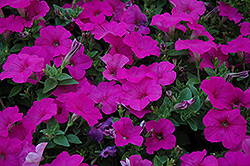 Easy Wave® Neon Rose Petunia (Petunia 'Easy Wave Neon Rose') at Dutch Growers Garden Centre