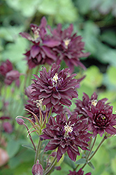 Clementine Dark Purple Columbine (Aquilegia vulgaris 'Clementine Dark Purple') at Dutch Growers Garden Centre
