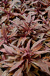 ColorBlaze® Velvet Mocha Coleus (Solenostemon scutellarioides 'Velvet Mocha') at Dutch Growers Garden Centre
