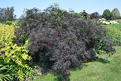 Black Lace® Elder (Sambucus nigra 'Eva') at Dutch Growers Garden Centre