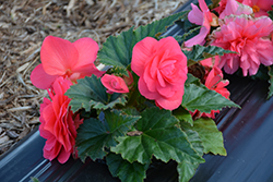 Nonstop® Pink Begonia (Begonia 'Nonstop Pink') at Dutch Growers Garden Centre