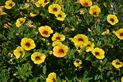 Superbells® Saffron Calibrachoa (Calibrachoa 'Superbells Saffron') at Dutch Growers Garden Centre
